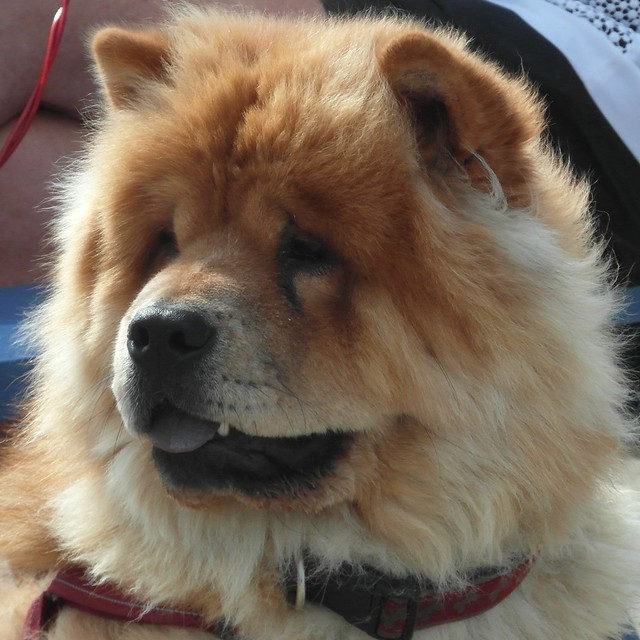 Chow-chow - The lion dog