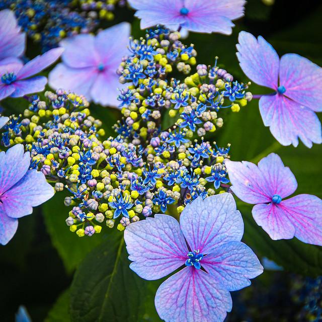 Hydrangea, Nymans Garden, West Sussex アジサイ、ナイマンズ庭園、ウエスト・サセックス州、イギリス