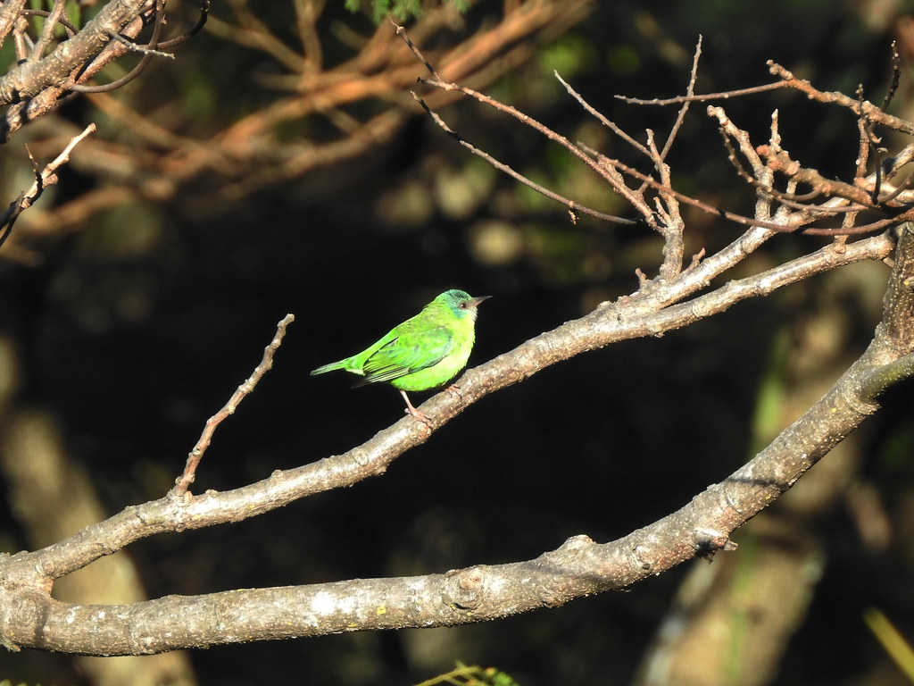 Saí-azul fêmea