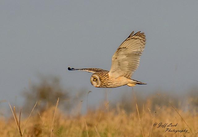 Short eared Owl...