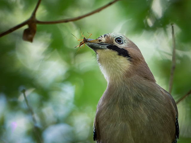 Jay showing it´s prey