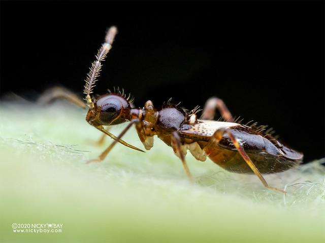 Ant-mimic plant bug (cf. Nicostratus sp.) - P8092205
