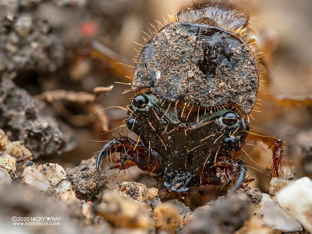 Tiger beetle larva - P8081870