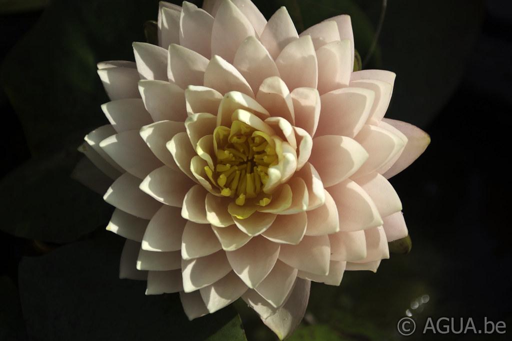 Waterlelie Darjeeling / Nymphaea Darjeeling