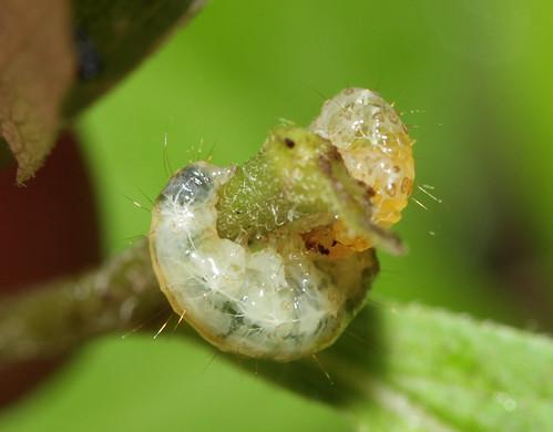 insect lepidoptera moth caterpillar northcarolina roanmountain canonef100mmf28macrousm inaturalist
