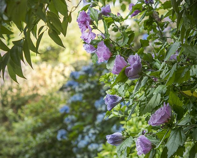 Hibiscus and Hydrangea