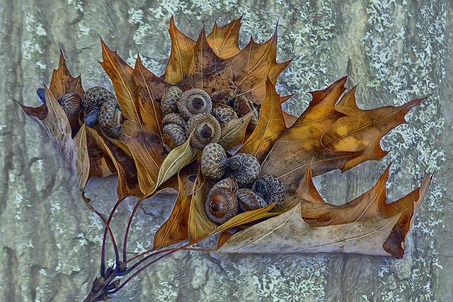 Fallen Oak Leaves...
