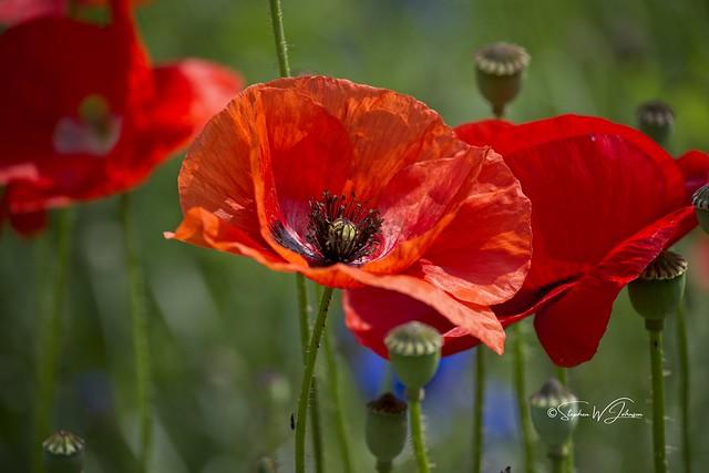 Z50_1579  - Poppies jpeg