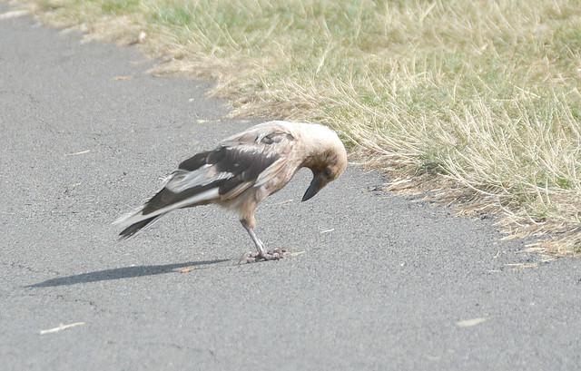 Ferdinand the Blond Crow DSC_0607