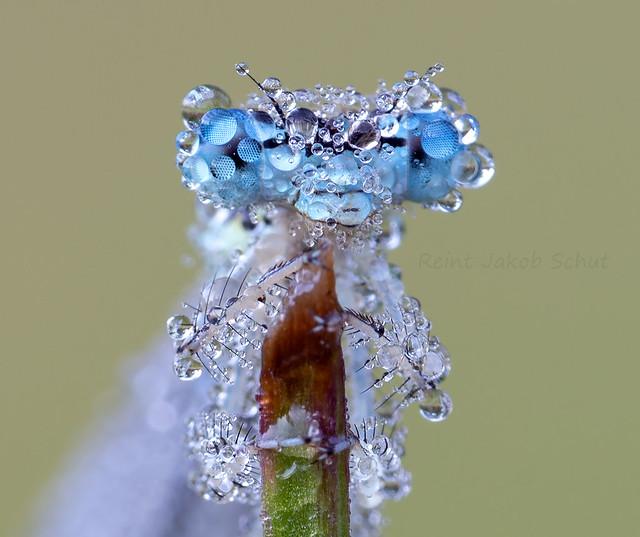 Blauwe breedscheenjuffer - Blue Featherleg - Platycnemis pennipes