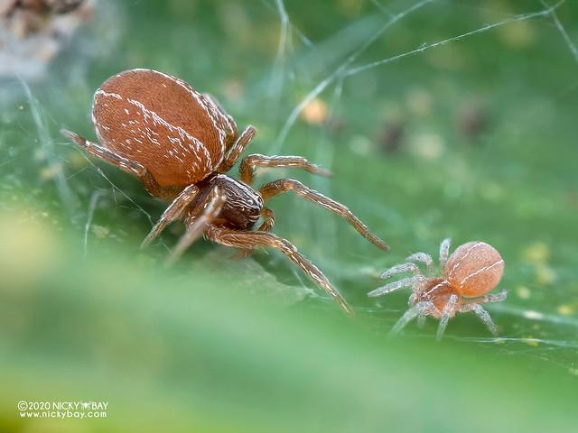 Mesh weaver spider (Sudesna sp.) - P8092241