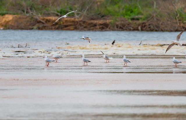 Seagulls at the Lagoon