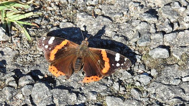 Papillon dit Belle-Dame