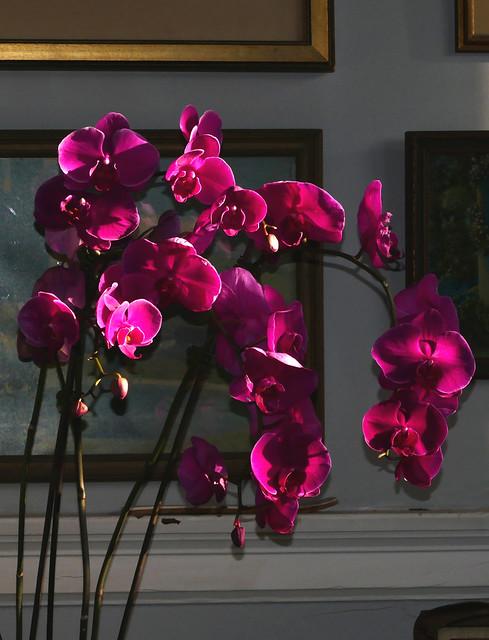 gifted, Phalaenopsis Unknown [sam purple] hybrid orchid 7-20