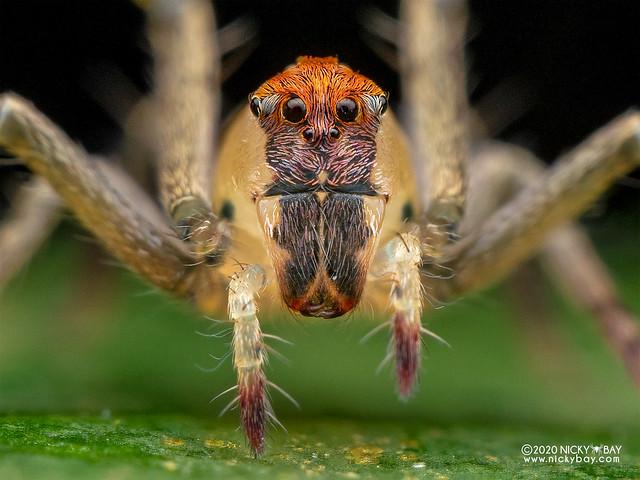 Lynx spider (Hamataliwa sp.) - P8092188b