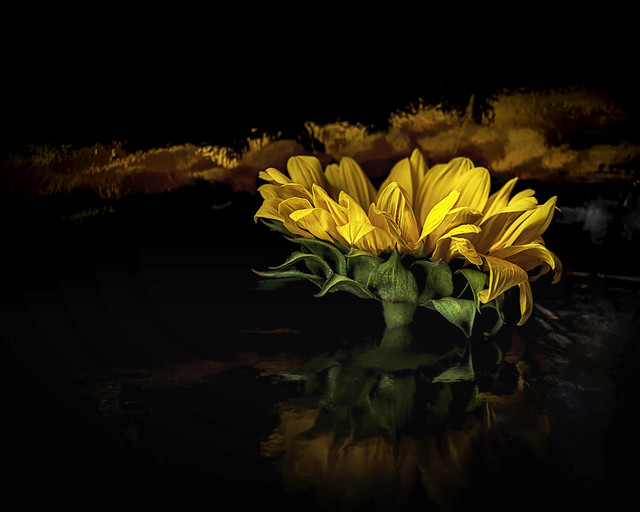 Sunflower with Multiple Reflections