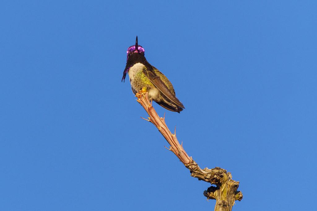 A male Costa's hummingbird head flashes purple as he looks in my direction in the Troon neighborhood of Scottsdale, Arizona in February 2020. Original: _RAC3253.arw