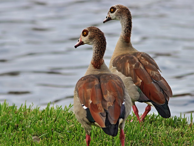 Egyptian Geese 03-20200812