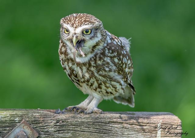 DSC3691  Little Owl..
