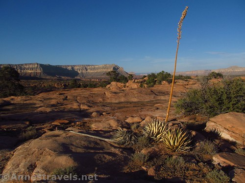 Yucca out on the slickrock near the Tuweep Campground, Grand Canyon National Park, Arizona