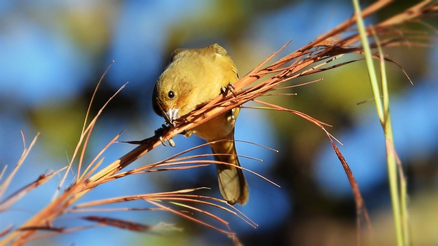 Papa-capim - Yellow-bellied Seedeater