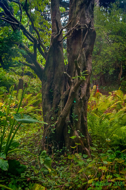 Bald Cypress Tree (Taxodium distichum)