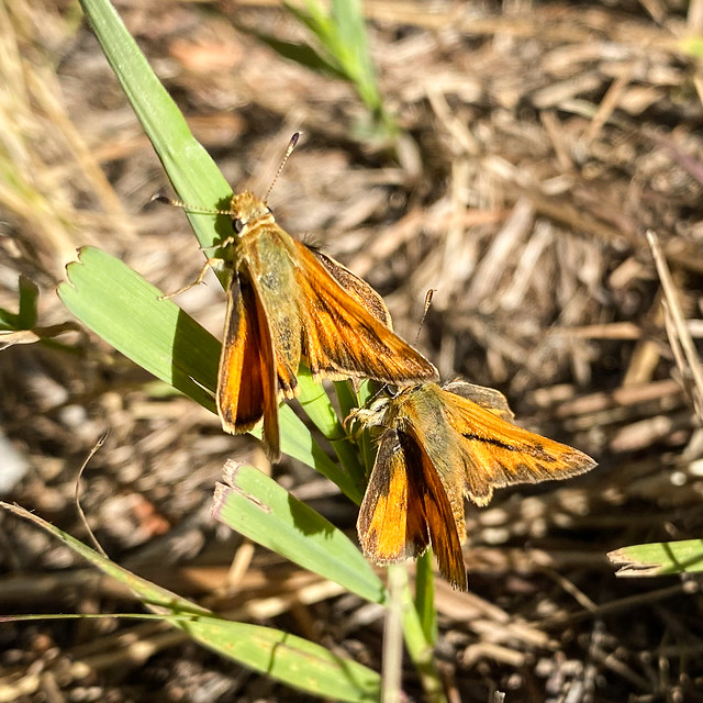 Woodland Skipper ?