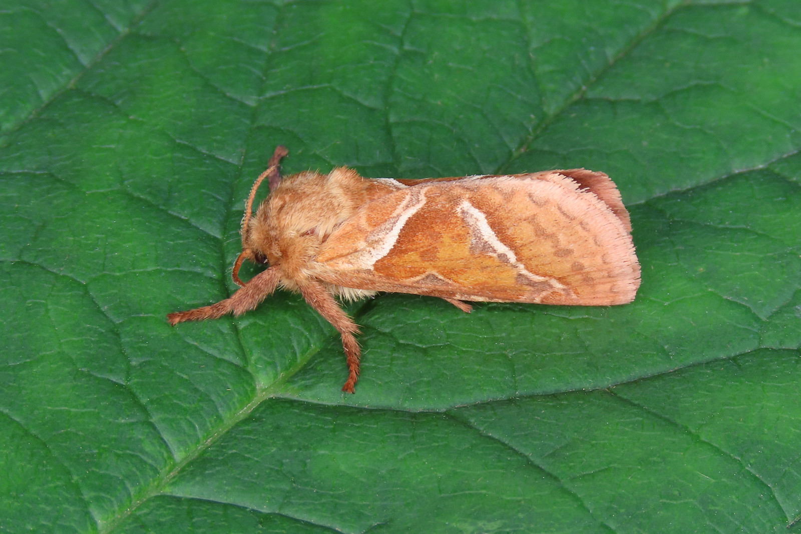 03.001 Orange Swift - Triodia sylvina
