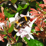 Bumble bee:  12.8.20.