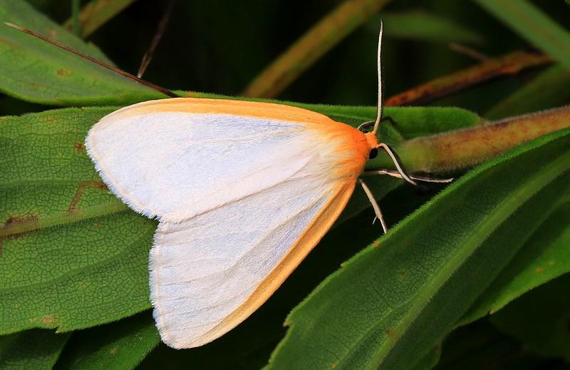 dogbane tiger moth (Cycnia tenera) at Chipera Prairie IA 653A2718