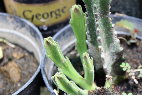 dumanjug cebu visayas luzon cactus plant philippines asia world travel trip tour explore flickr