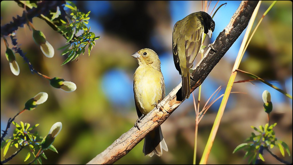 Yellow-bellied Seedeater Pairs