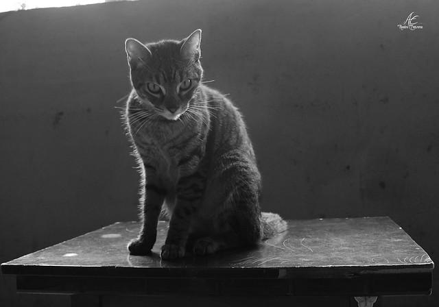 Gato en pose