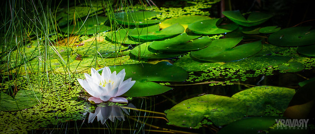 Nénuphar Blanc-White Water Lily-nymphaea alba