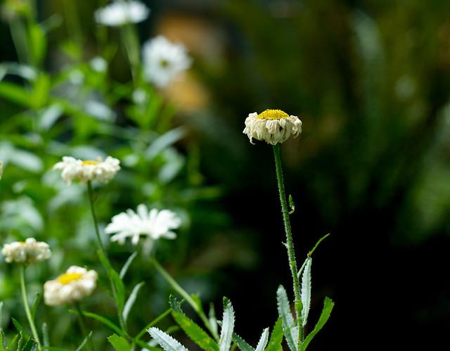 Dying daisy