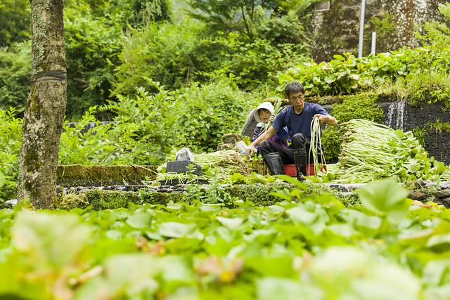 JAPAN- Traditional Wasabi Cultivation in Shizuoka