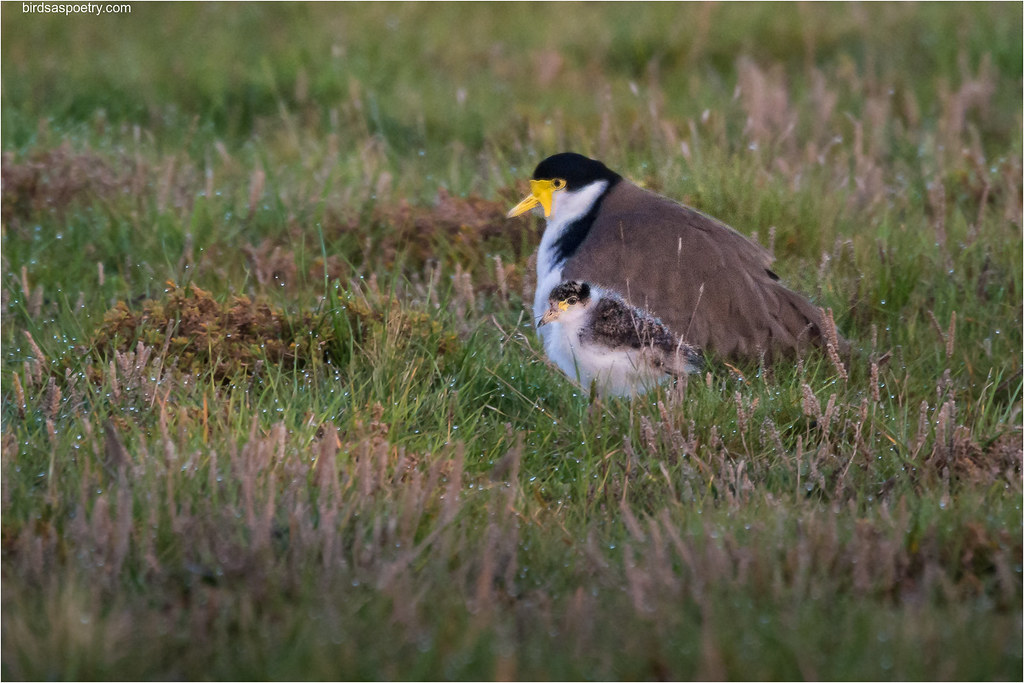 Masked Lapwing: Togetherness