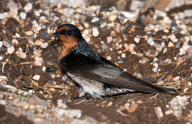 A welcome swallow busy for spring