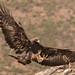 Águila Real llegando a su posadero
