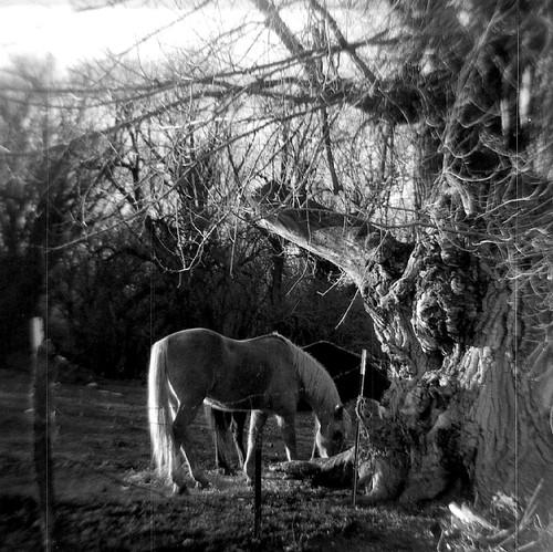 sabre620 plasticcamera mediumformat fomapan100 blackandwhitefilm homedeveloped rural horses oldtree ledouxnewmexico