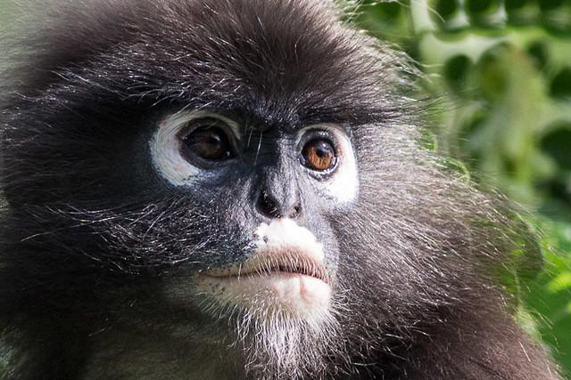 Spectacled Leaf Monkey