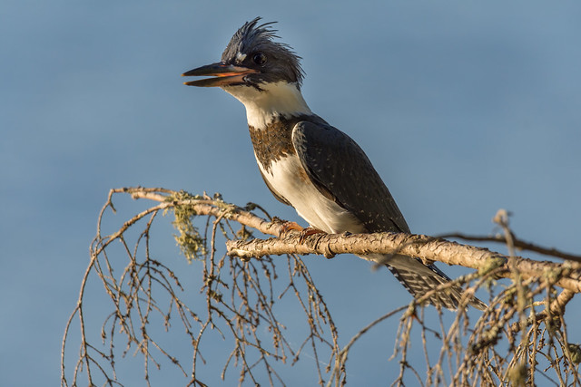 Belted Kingfisher (Martin-pêcheur d'Amérique)