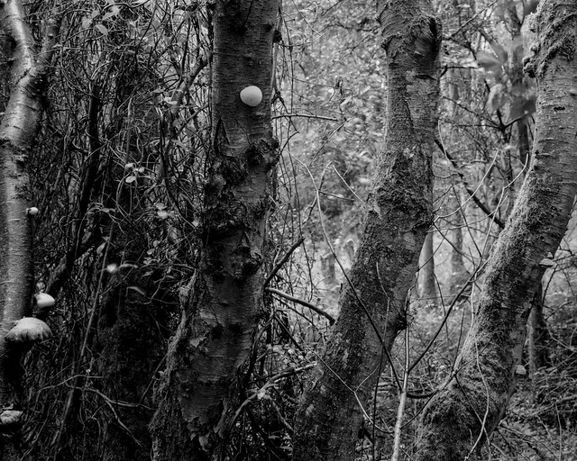 Hyons Wood, Walker Titan SF, Rodenstock 150 mm, Rollei Ortho 25+ in HC110