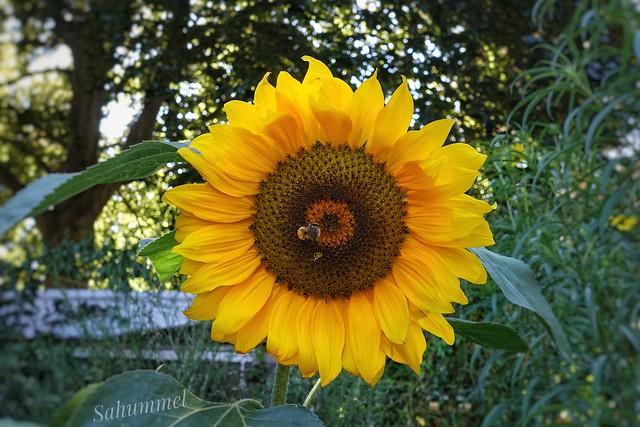 Bumblebees favourite