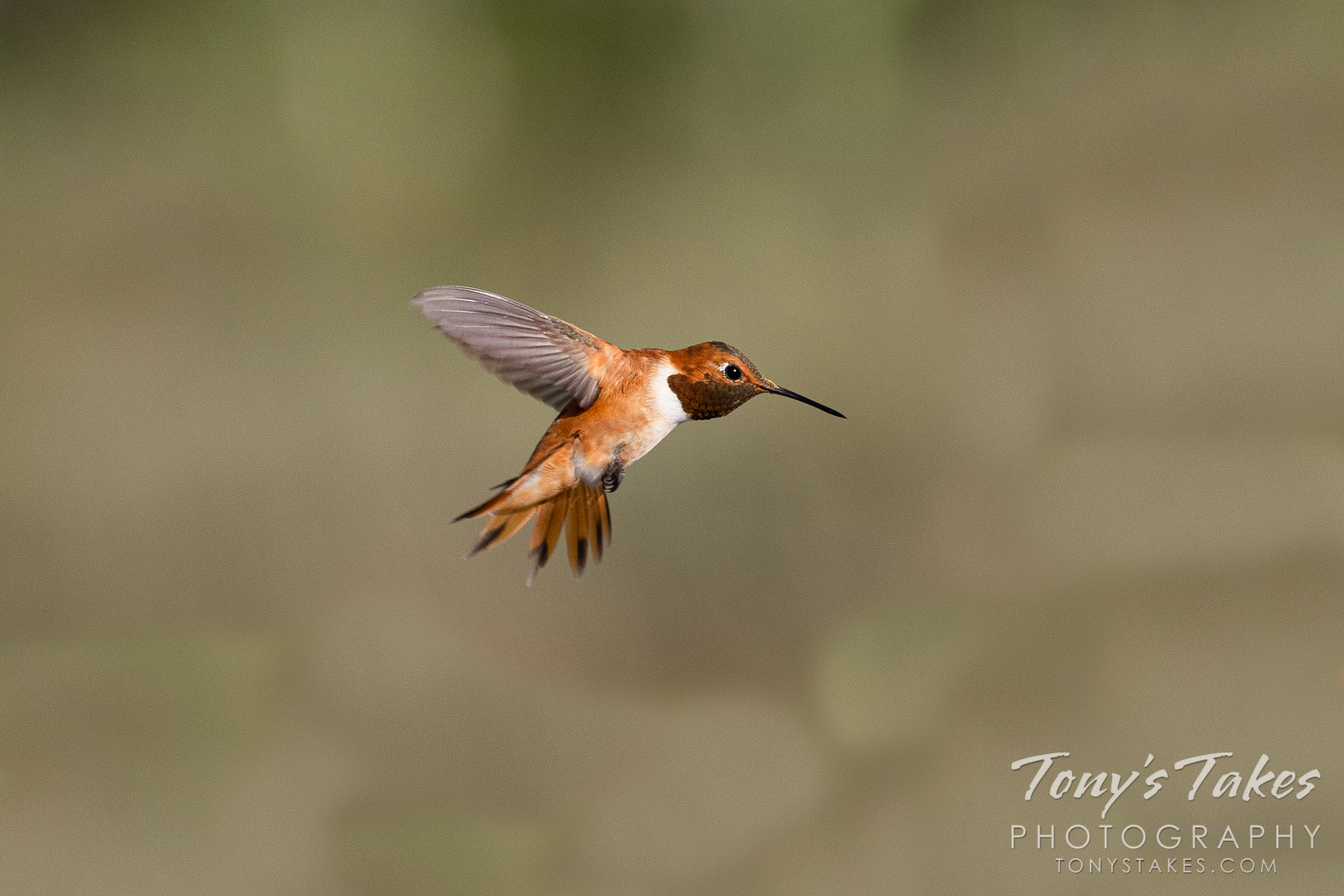 A rufous hummingbird moves to guard a feeder. (© Tony's Takes)