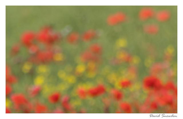 Poppy Field Impression
