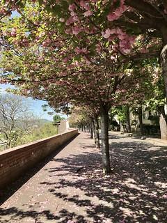cseresznyefa virágzás a budai várban