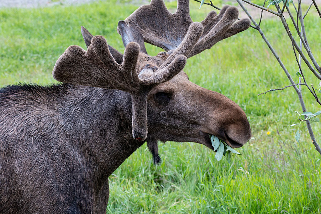 Munching Moose
