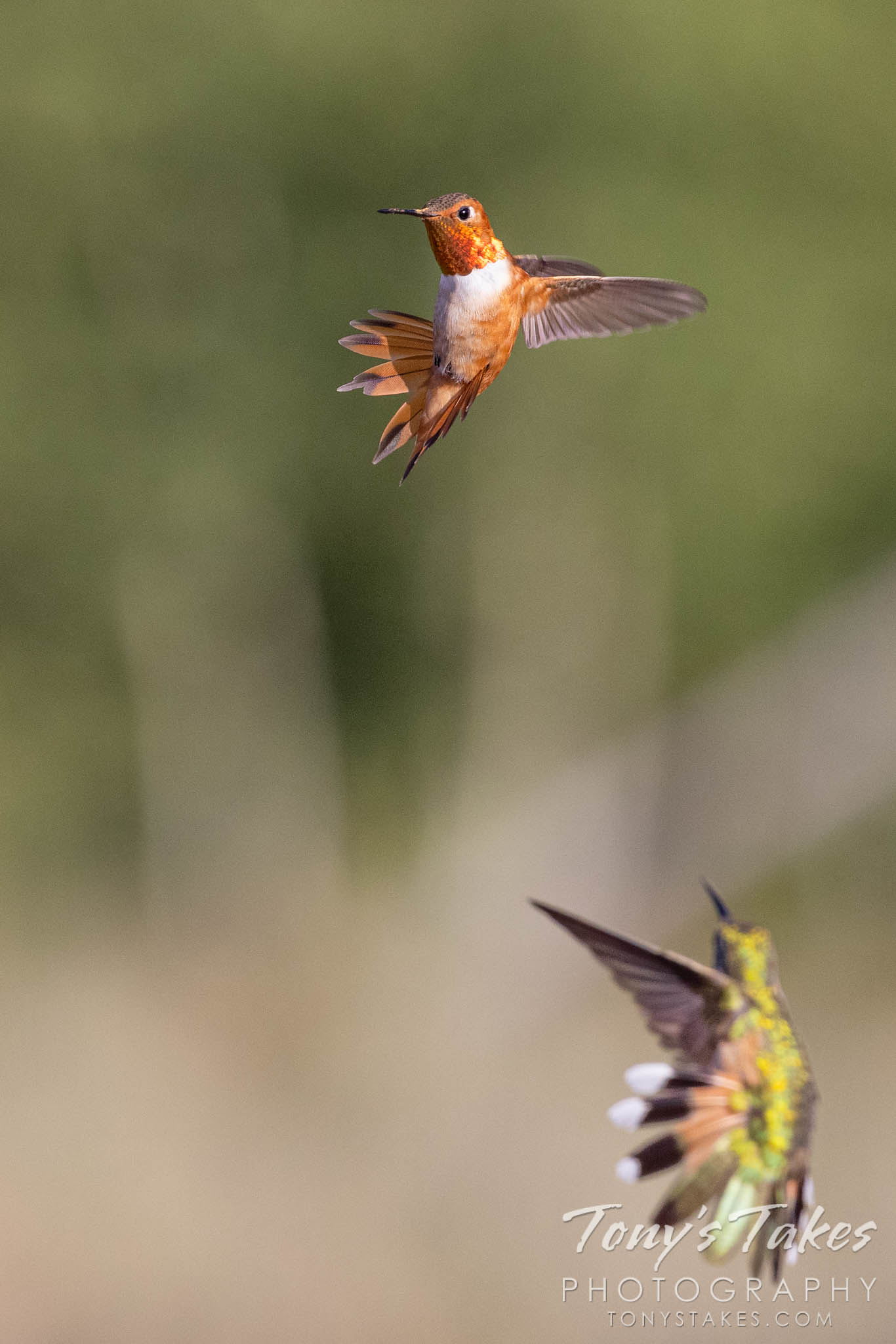 A rufous hummingbird guards a feeder against a broad-tailed hummingbird. (© Tony's Takes)