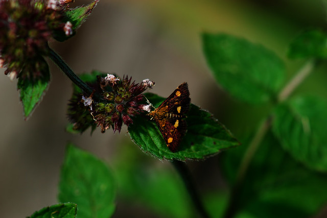 Mint Moth (Pyrausta aurata) - Connaught Water Epping Forest